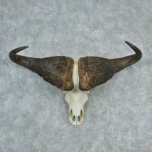 African Cape Buffalo Skull & Horn European Mount
