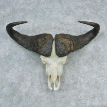 African Cape Buffalo Skull & Horn European Mount #12729 For Sale @ The Taxidermy Store