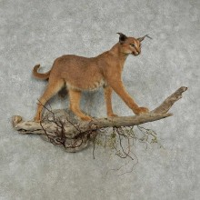 African Caracal Life-Size Taxidermy Mount For Sale