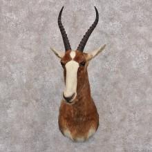 African Blesbok Taxidermy Shoulder Mount For Sale