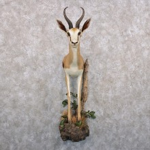 African Springbok Half Life Size Taxidermy Mount #12296 For Sale @ The Taxidermy Store