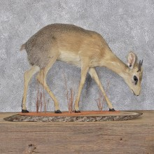 African Dik-dik Life Size Taxidermy Mount #12400 For Sale @ The Taxidermy Store