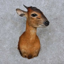 Harvey Red Duiker Shoulder Mount For Sale #15258 @ The Taxidermy Store
