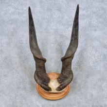 African Eland Horn Plaque Taxidermy Mount For Sale #13992 @ The Taxidermy Store