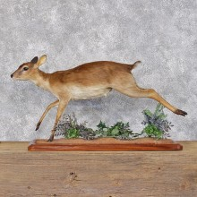 African Suni Antelope Running Taxidermy Mount #12401 For Sale @ The Taxidermy Store