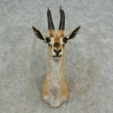 Thomson's Gazelle Taxidermy Shoulder Mount For Sale