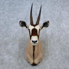 African Gemsbok Taxidermy Shoulder Mount For Sale