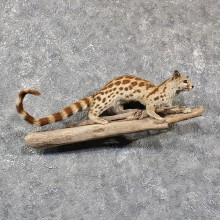 African Genet Cat Mount #11567 - For Sale @ The Taxidermy Store