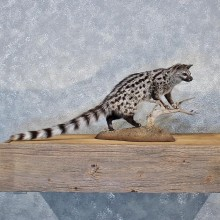 African Genet Cat Mount #11966 For Sale @ The Taxidermy Store