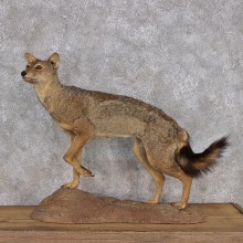 African Golden Jackal Life Size Taxidermy Mount #10291 For Sale @ The Taxidermy Store