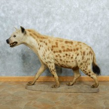 African Hyena Life-Size Taxidermy Mount #13275 For Sale @ The Taxidermy Store