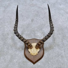 African Impala Horn Plaque For Sale #14553 @ The Taxidermy Store