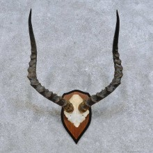African Impala Skull Cap & Horns European Mount For Sale #14623 @ The Taxidermy Store