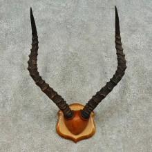 African Impala Horn Plaque For Sale #16198 @ The Taxidermy Store