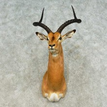 African Impala Taxidermy Shoulder Mount For Sale
