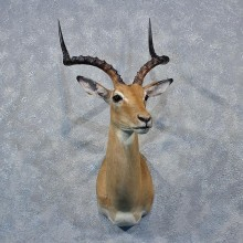 African Impala Shoulder Mount #12031 For Sale @ The Taxidermy Store
