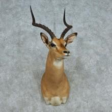African Impala Shoulder Mount