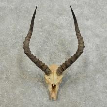 Impala Skull & Horn European Taxidermy Mount For Sale