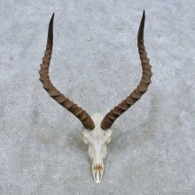 African Impala Skull European Mount For Sale #15147 @ The Taxidermy Store