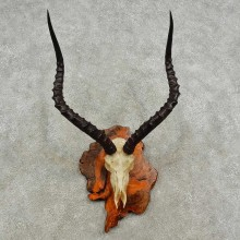Impala Skull & Horns European Taxidermy Mount For Sale