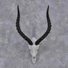 African Impala Taxidermy European Skull & Horn Taxidermy Mount  #12419 For Sale @ The Taxidermy Store