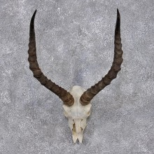 African Impala Taxidermy European Skull & Horn Taxidermy Mount #12420 For Sale @ The Taxidermy Store