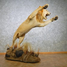 African Lion Taxidermy Life Size Mount #12675 For Sale @ The Taxidermy Store