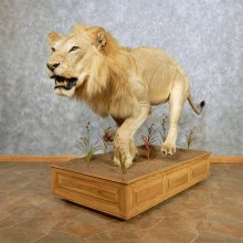 African Lion Life Size Mount For Sale #14710 @ The Taxidermy Store