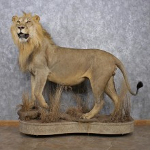 African Lion Life Size Mount