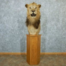 African Lion Pedestal Taxidermy Mount #13308 For Sale @ The Taxidermy Store
