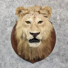 African Lion Shoulder Mount #11608 - For Sale @ The Taxidermy Store