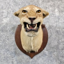 African Lion Shoulder Mount #11648 For Sale @ The Taxidermy Store