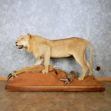 African Lion w/ Gazelle Life Size Taxidermy Mount For Sale