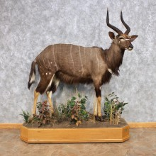 African Nyala Life-Size Taxidermy Mount For Sale
