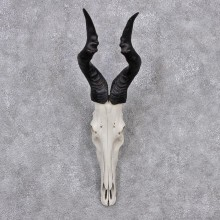 African Red Hartebeest Taxidermy Skull & Horn European Mount #12553 For Sale @ The Taxidermy Store