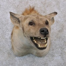 African Hyena Taxidermy Shoulder Mount For Sale