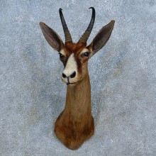 Black Springbok Shoulder Mount For Sale #15541 @ The Taxidermy Store