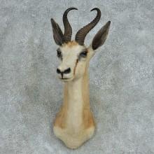 African Springbok Shoulder Mount