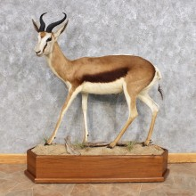 African Common Springbok Life Size Taxidermy Mount #12321 For Sale @ The Taxidermy Store