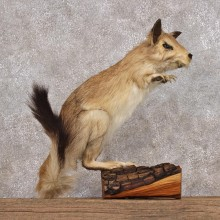 African Springhare Mount For Sale #12313 For Sale @ The Taxidermy Store