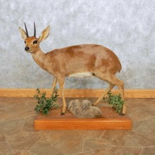 Steenbok Life-Size Taxidermy Mount For Sale #14139 @ The Taxidermy Store