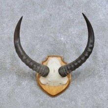 Topi Skull-Cap & Horn Mount For Sale #14616 @ The Taxidermy Store