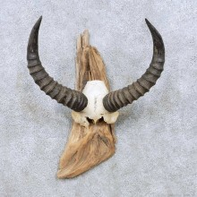Tsessebe Horns Taxidermy Mount For Sale #13949 For Sale @ The Taxidermy Store