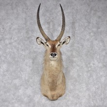African Waterbuck Shoulder Taxidermy Mount #12547 for sale @ The Taxidermy Store