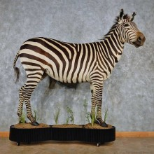African Burchell's Zebra Life Size Taxidermy Mount For Sale