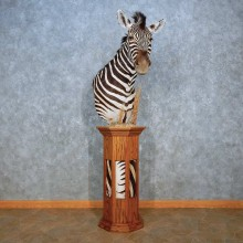 African Burchell's Zebra Pedestal Mount For Sale #15544 @ The Taxidermy Store