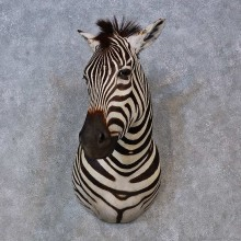 African Zebra Shoulder Mount For Sale #15267 @ The Taxidermy Store
