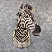 African Burchell's Zebra Shoulder #11651 For Sale @ The Taxidermy Store