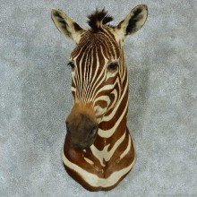 African Zebra Shoulder Taxidermy Mount #13307 For Sale @ The Taxidermy Store