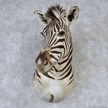 African Zebra Shoulder Taxidermy Mount #13195 For Sale @ The Taxidermy Store